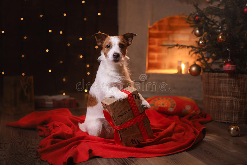 Dog Jack Russell Terrier. Happy New Year, Christmas, pet in the room. The Christmas tree stock photos