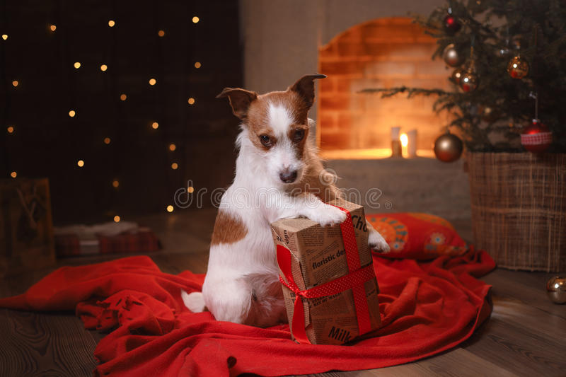 Dog Jack Russell Terrier. Happy New Year, Christmas, pet in the room. The Christmas tree royalty free stock photo