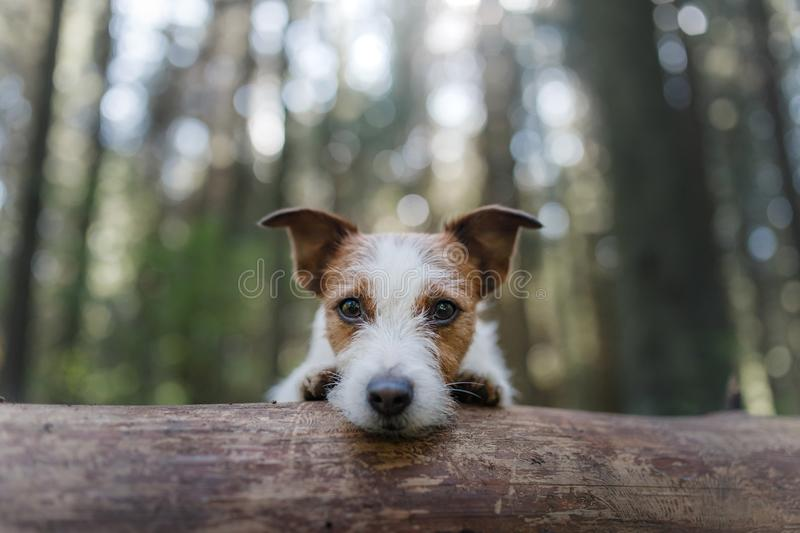 Dog Jack Russell Terrier peeking out from behind a tree royalty free stock photo