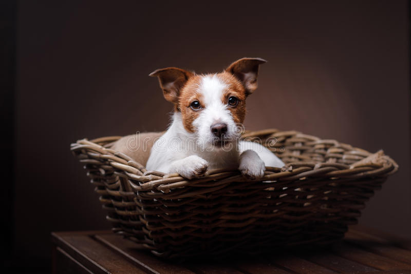 Dog Jack Russell Terrier. Pet in the room, studio portrait dog on a color background, lying in a basket stock photo