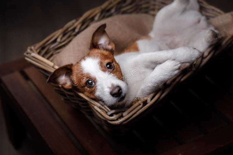 Dog Jack Russell Terrier. Pet in the room, studio portrait dog on a color background, lying in a basket royalty free stock images