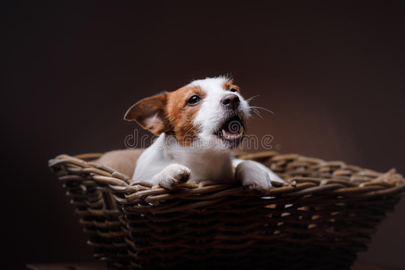 Dog Jack Russell Terrier. Pet in the room, studio portrait dog on a color background, lying in a basket stock photography