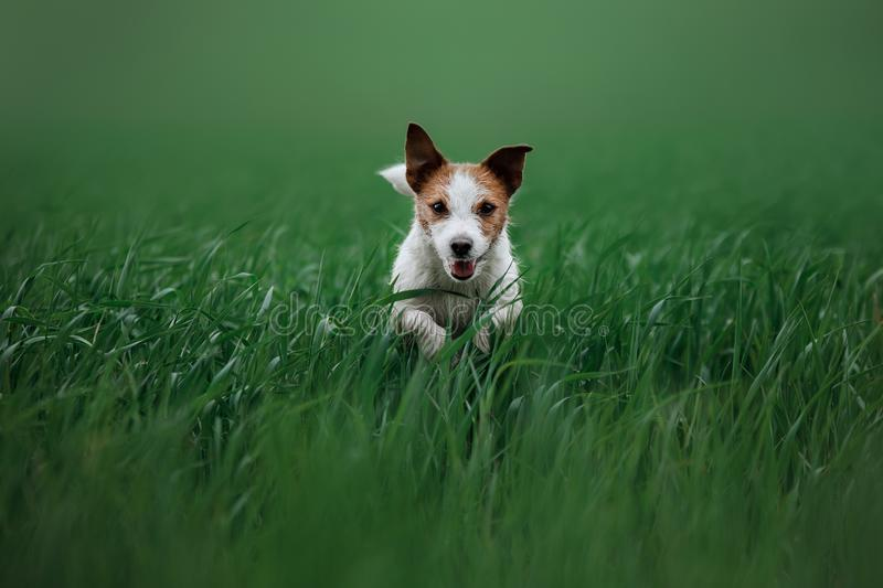 Dog Jack Russell Terrier running on the grass royalty free stock photos