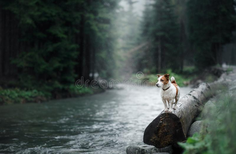 Dog Jack Russell Terrier on the banks of a mountain stream stock photography