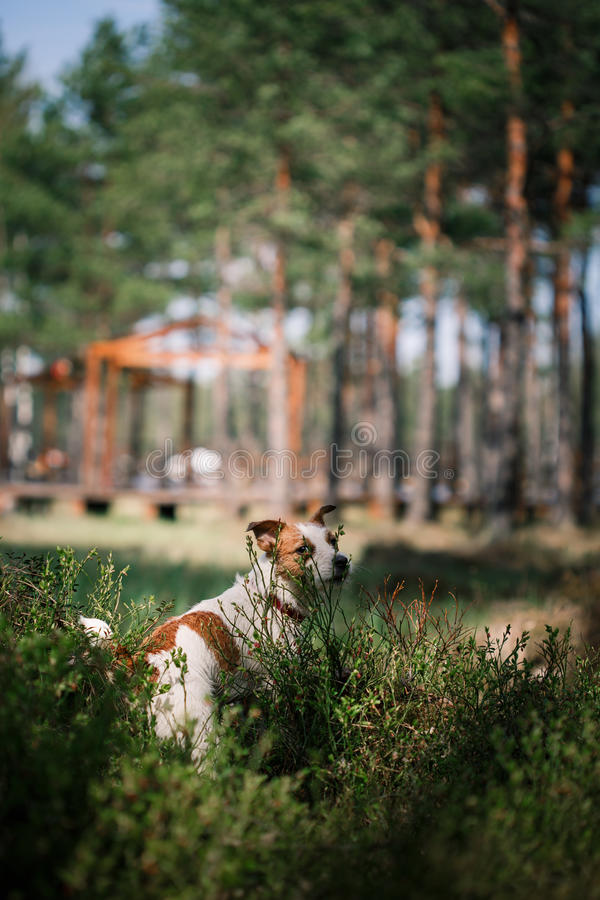 Dog Jack Russell Terrier walks on nature. Dog Jack Russell Terrier walks in the park, summer royalty free stock photography