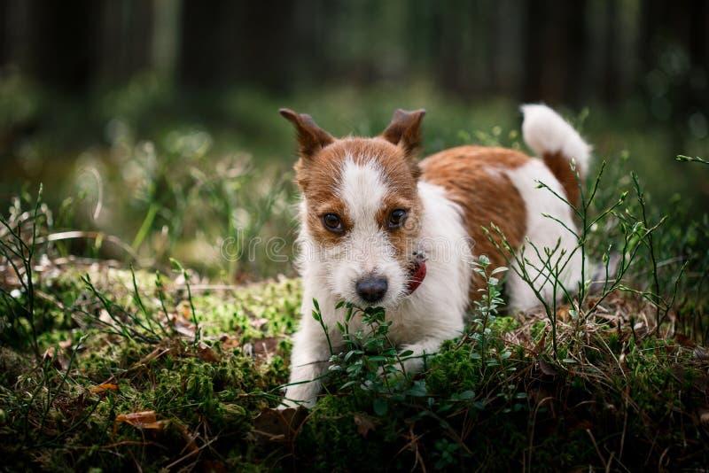 Dog Jack Russell Terrier walks on nature. Dog Jack Russell Terrier walks in the park, summer stock images