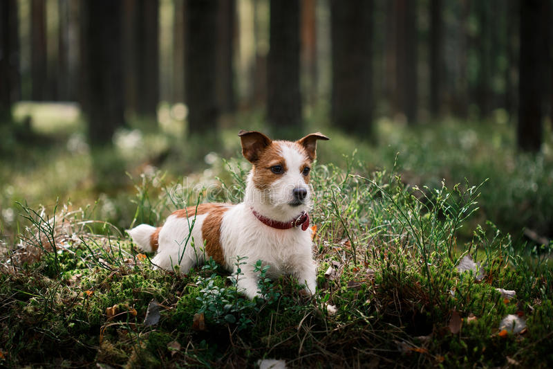 Dog Jack Russell Terrier walks on nature. Dog Jack Russell Terrier walks in the park, summer royalty free stock photos