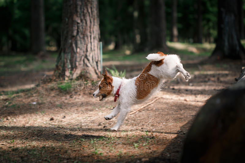 Dog Jack Russell Terrier walks on nature. Dog Jack Russell Terrier walks in the park, summer royalty free stock image