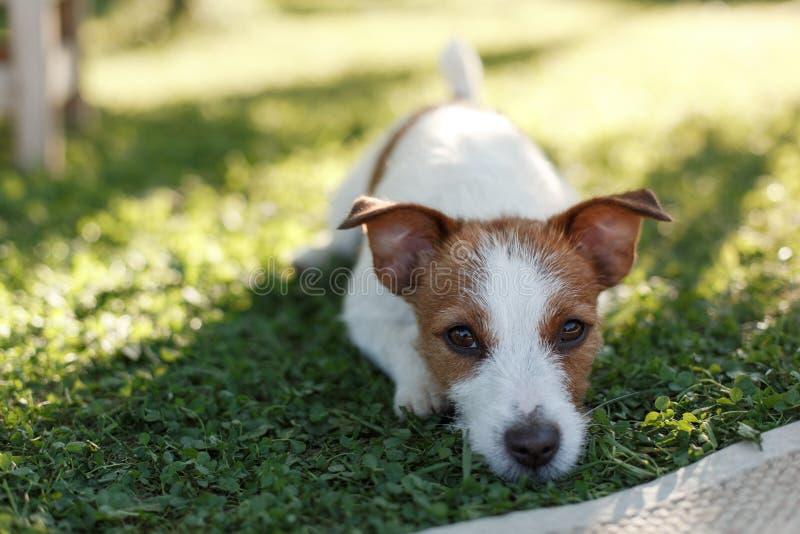 Dog Jack Russell Terrier walks on nature. Dog Jack Russell Terrier walks in the park, summer stock image