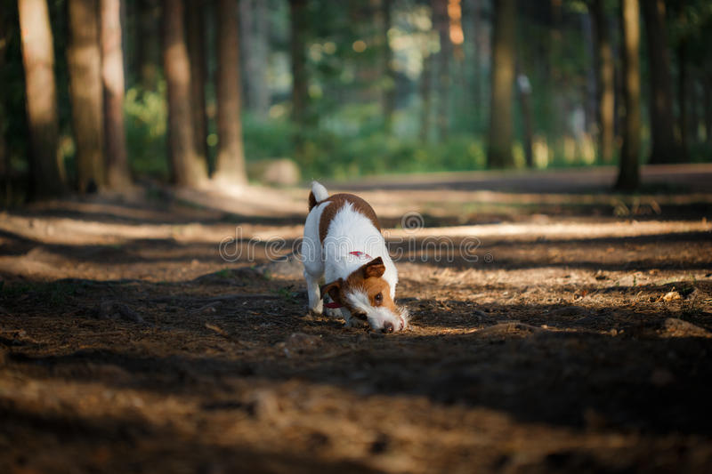 Dog Jack Russell Terrier walks on nature. Dog Jack Russell Terrier walks in the park, summer stock photography