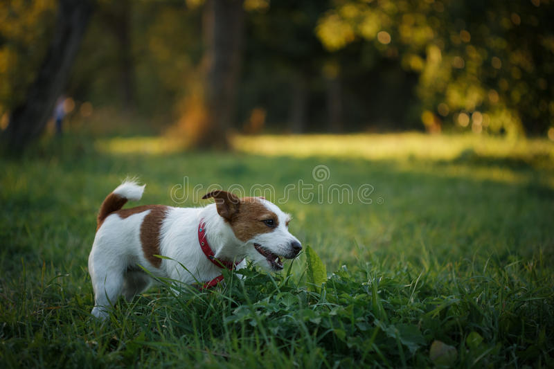 Dog Jack Russell Terrier walks on nature. Dog Jack Russell Terrier walks in the park, summer royalty free stock images