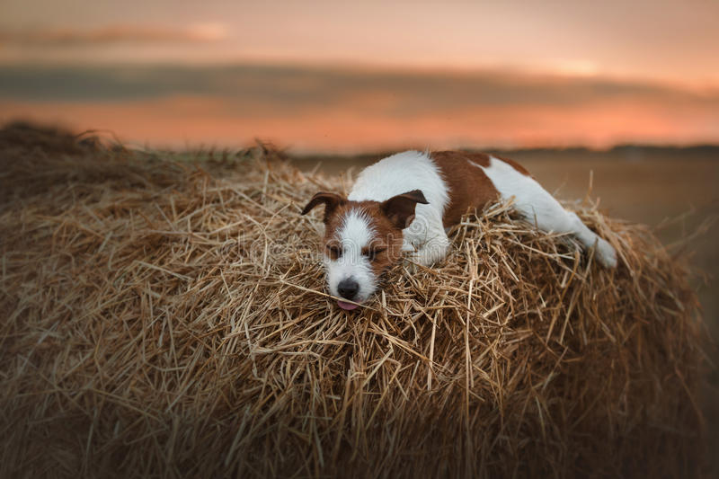 Dog Jack Russell Terrier walks on nature. Dog Jack Russell Terrier walks in the park, summer stock photos
