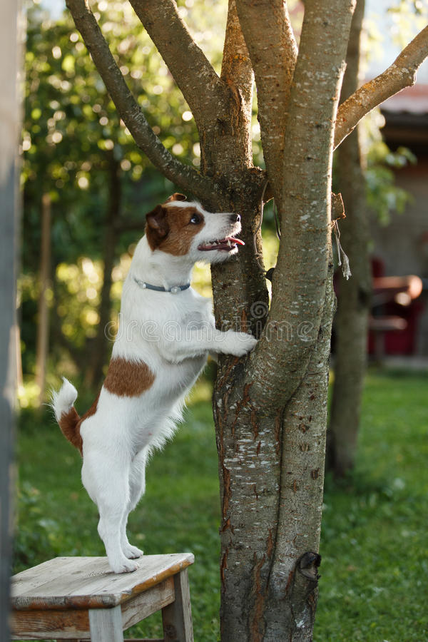 Dog Jack Russell Terrier walks on nature. Dog Jack Russell Terrier walks in the park, summer stock photo