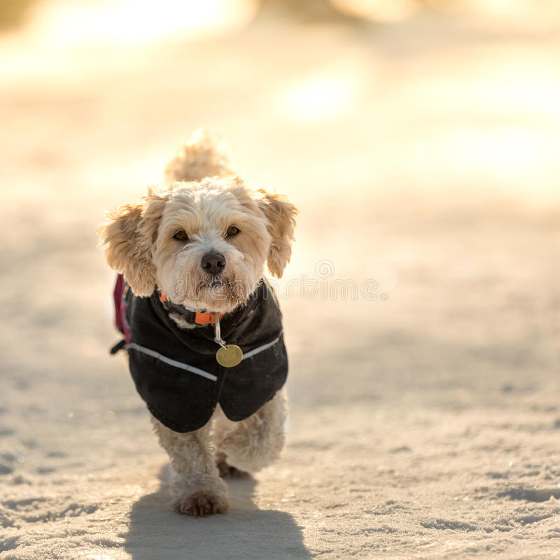 Dog with jacket stock photo