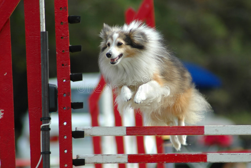 Dog jumping. Active little Sheltie dog jumping a hurdle having private agility training for an agility sport competition
