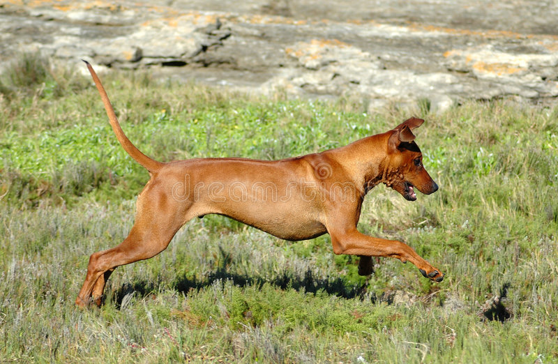 Dog jumping stock images