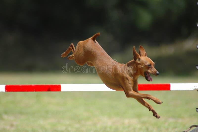 Dog jumping royalty free stock image