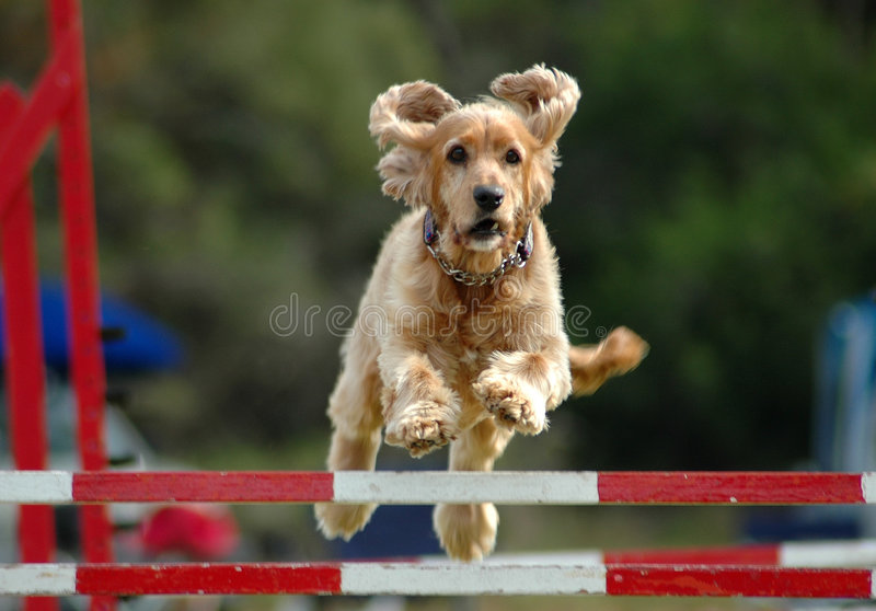 Dog jumping. Full body of a beautiful little Cocker Spaniel dog with concentrating expression in the face jumping a hurdle in an agility competition and winning