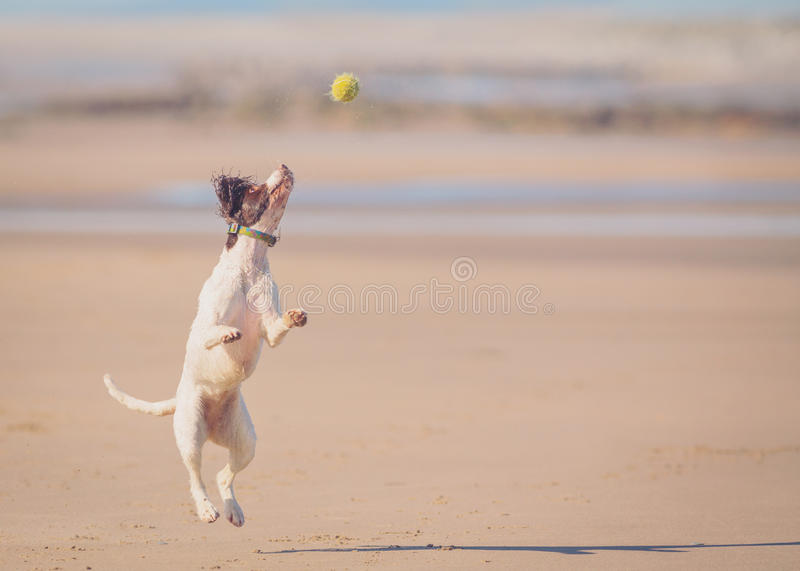 Dog jumping catching ball. With copyspace royalty free stock images