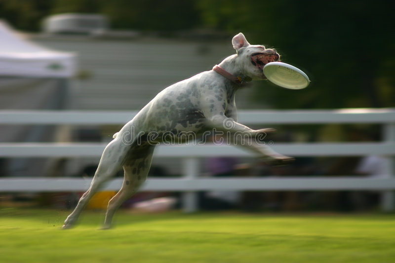 Dog jumping for frisbee royalty free stock photography