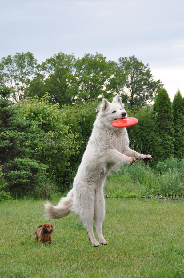 Dog jumping for frisbee stock photo