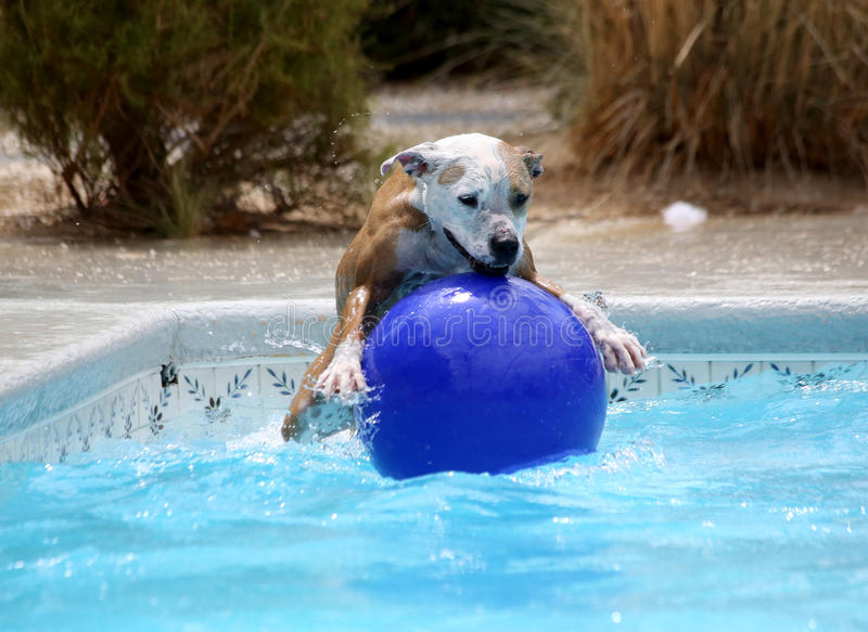 Dog jumping on her ball in the pool. A dog jumping on the top of her ball in the swimming pool royalty free stock images