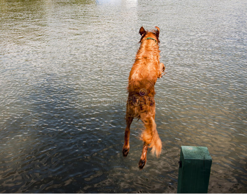 Dog jumping off dock into lake royalty free stock photography