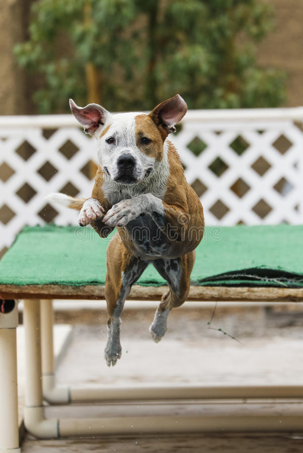 Dog jumping off the dock into the pool. Dock diving dog jumping into the pool stock photography