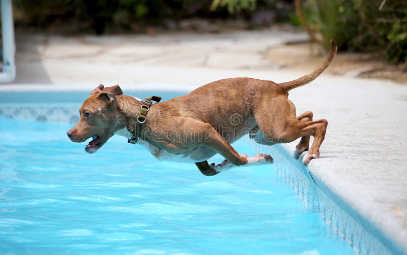 Dog jumping off the side of the pool. A dog jumping off the the side of the pool into the water royalty free stock photo
