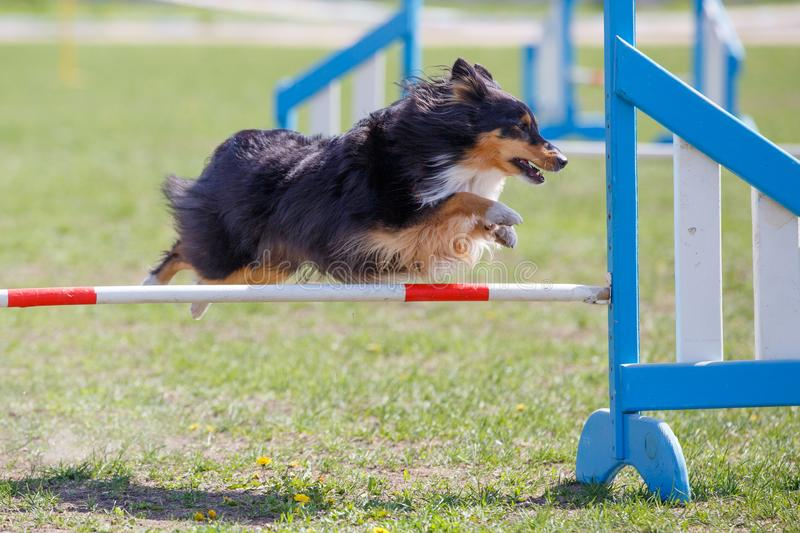 Dog jumping over hurdle in agility competition. Sheltie Dog jumping over hurdle in agility competition stock images