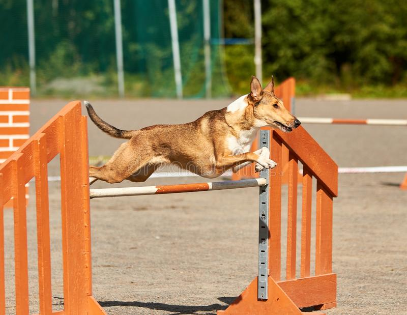 Dog jumping over a hurdle in an agility competition. Smooth collie jumping over a hurdle in dog agility competition. Fun outdoor sports action ion a sunny royalty free stock image