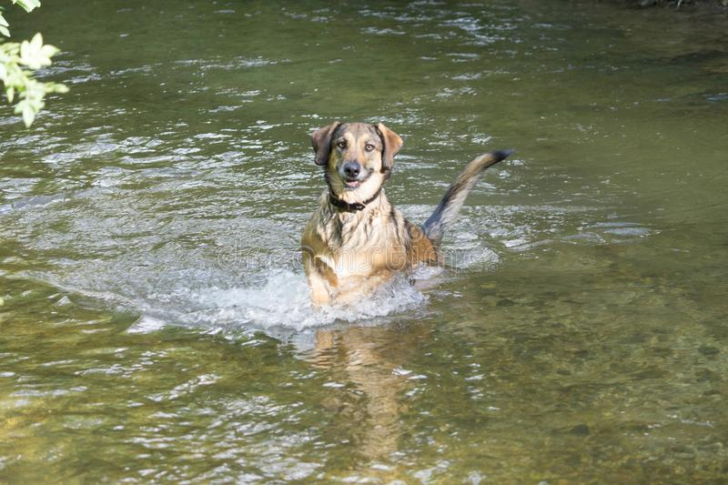 The dog is jumping in the river stock photos
