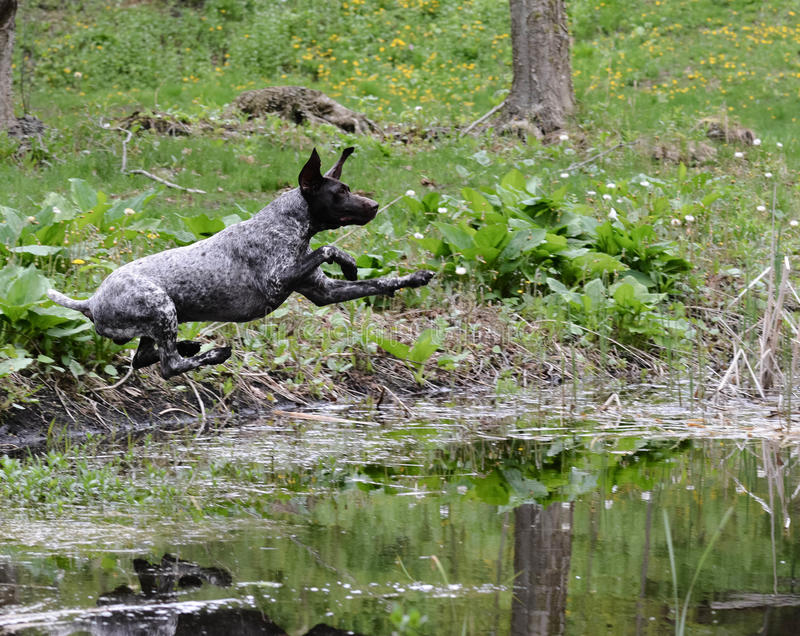 Dog jumping into the river stock image