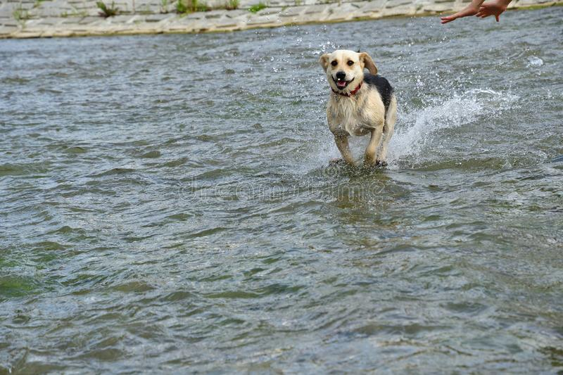 Dog jumping in the river royalty free stock images