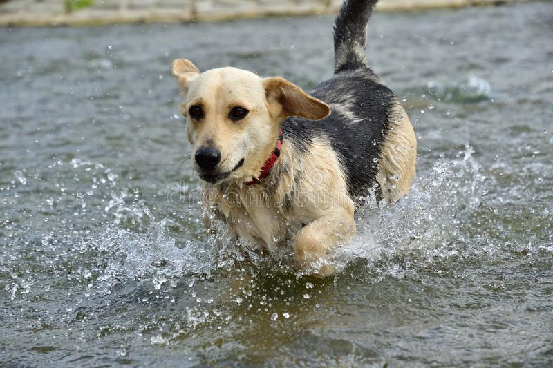 Dog jumping in the river stock image