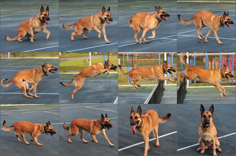 Download Dog jumping sequence stock photo. Image of high, protection - 20865814
