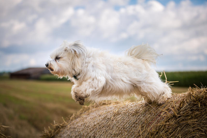 Dog when jumping stock photo