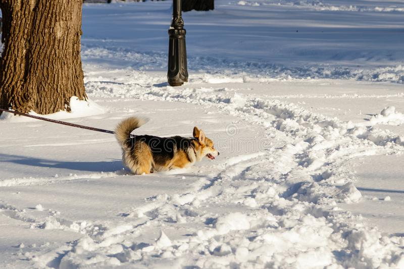 Dog jumping in the snow royalty free stock photo