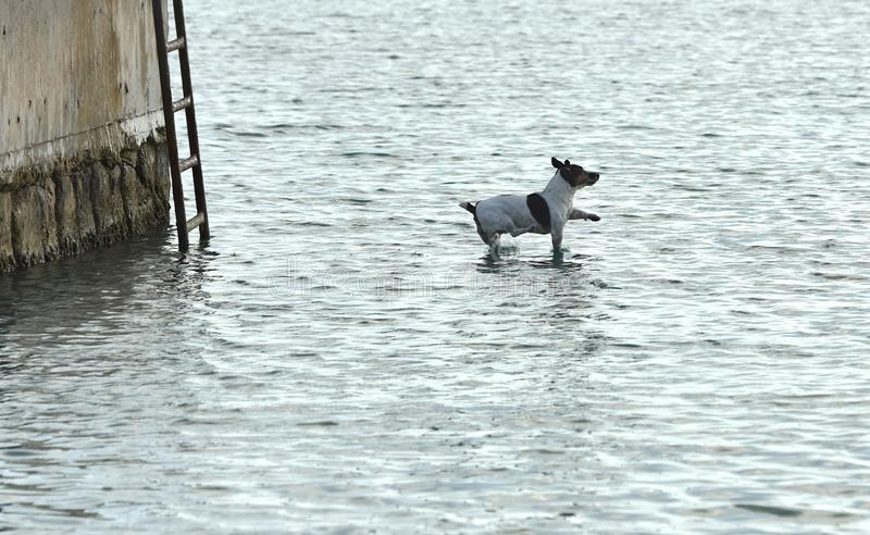 Dog jumping to the water, dog terrier, funny dog, flying dog, dog terrier stock photos