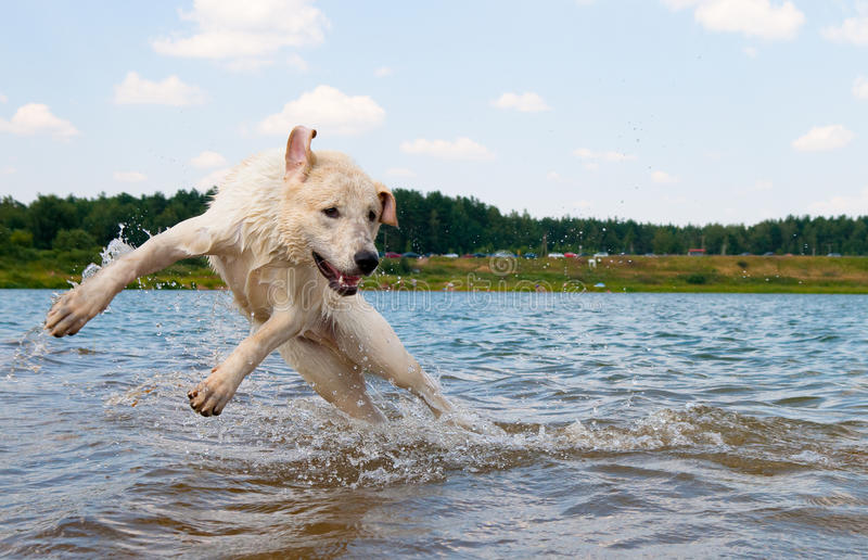 Dog jumping in the water. Labrador is playing royalty free stock photography