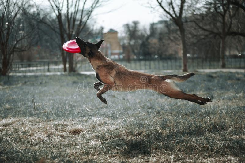 The dog jumps high and plays in Frisbee. The dog jumps high and plays in the Frisbee, catching it with a full mouth stock images