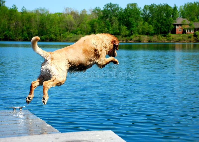 Dog Jumps from Platform Dock into Water. A Golden Retriever jumps off a dock into the vibrant blue waters stock images