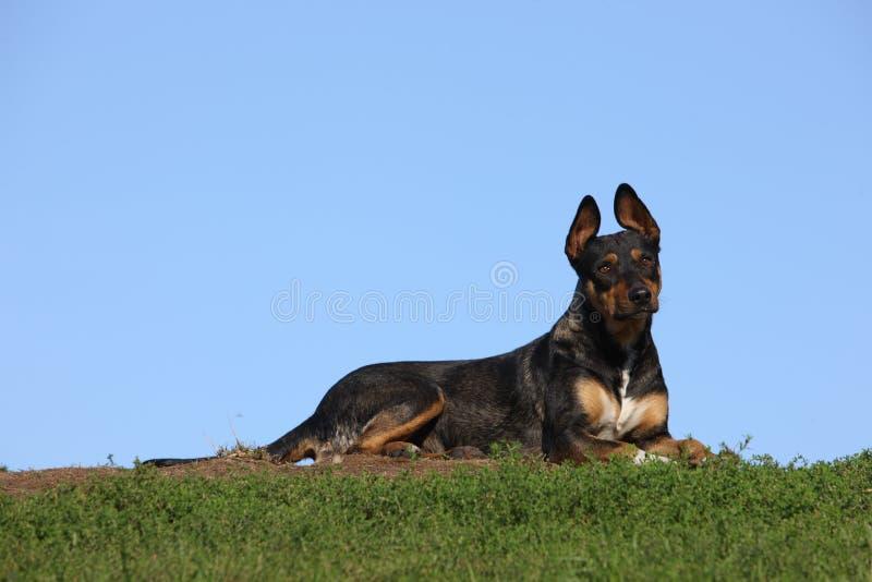 Dog in Kiev. Dog posed against the skyline in Kiev stock photos