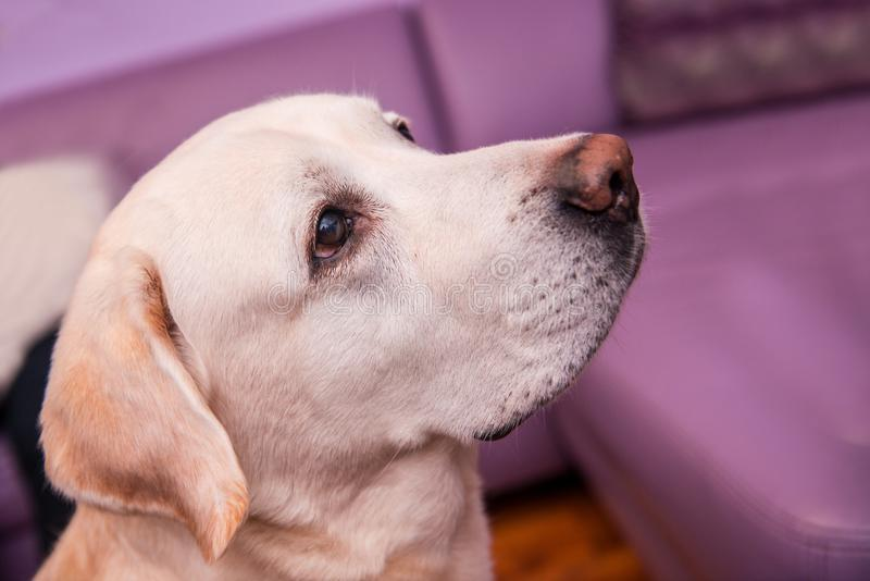 Dog with kind eyes. Sitting looking at the owner in anticipation of tasty treats royalty free stock image