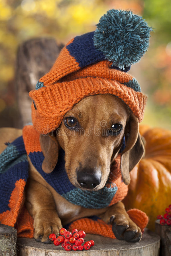 Dog knitted hat and scarf. Dog dachshund knitted hat and scarf royalty free stock images