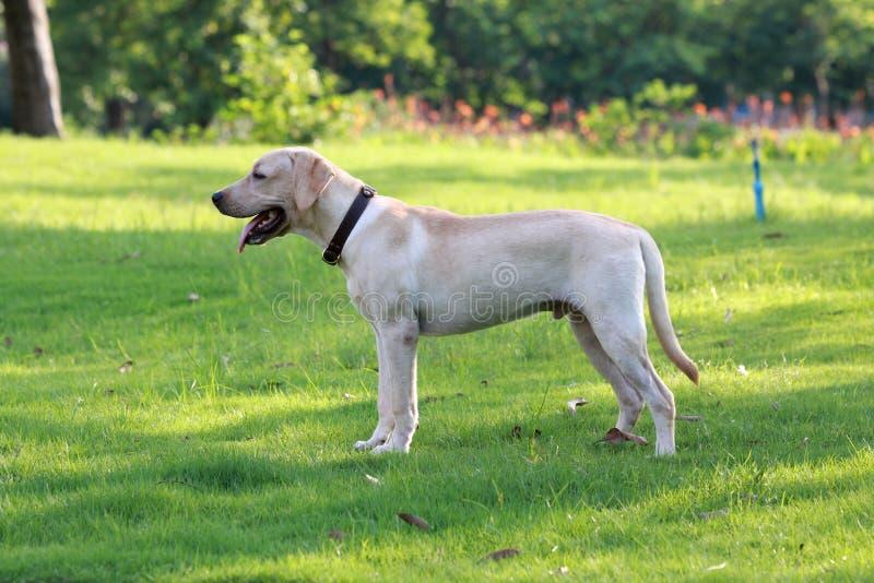 Dog Labrador 拉布拉多犬 草地 royalty free stock photo