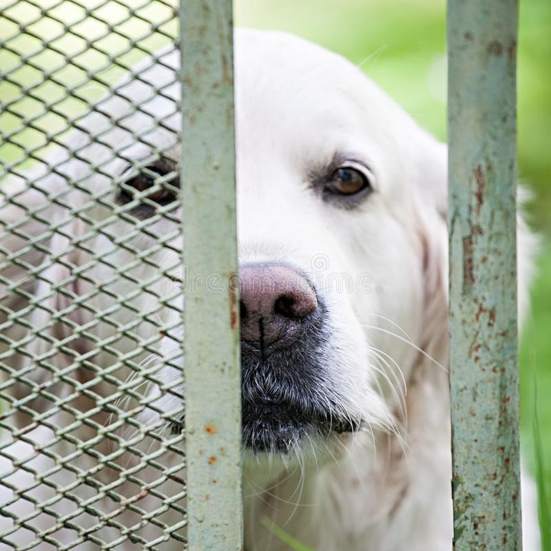 Dog of labrador retriever breed stock photos