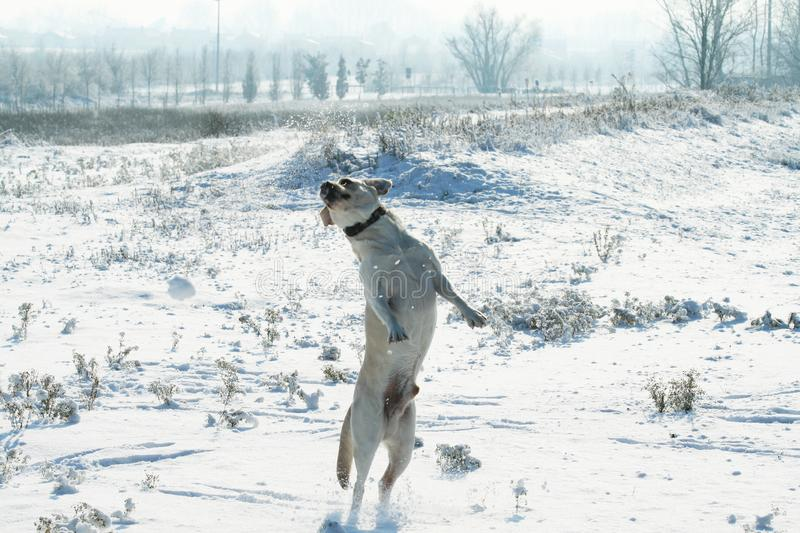 A dog Labrador retriever jumping outdoor on the snow in winter. Snowy landscape.  royalty free stock image