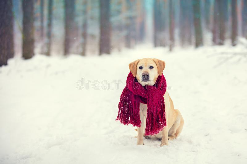Dog Labrador retriever wearing knitted red scarf. Sitting outdoors in winter snow forest royalty free stock photo