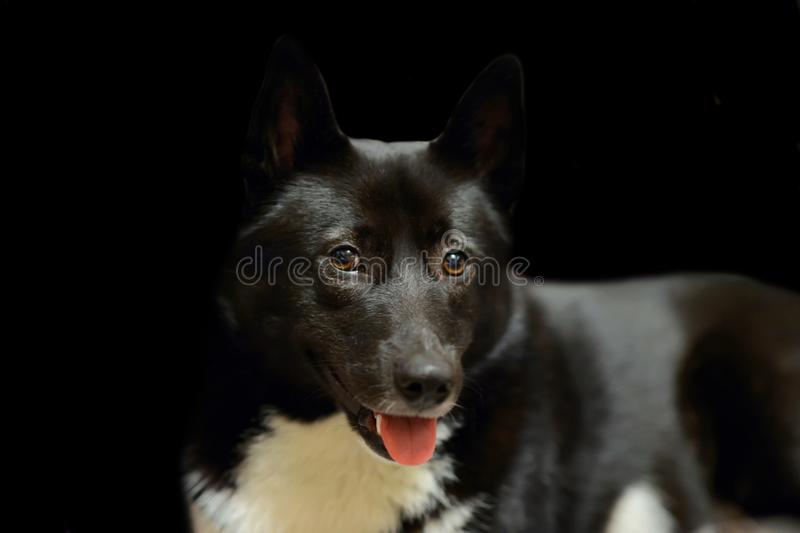 Dog Laika Russo-European black and white spots color royalty free stock photos